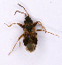 (Rhyparochromidae - EUBUG_511_f_Scolthom3)  @15 [ ] Unspecified (default): All Rights Reserved  Unspecified Unspecified