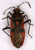 (Rhopalidae - EUBUG_922_f_Corihyos5)  @15 [ ] Unspecified (default): All Rights Reserved  Unspecified Unspecified