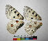 ( - RVcoll.12-L028)  @11 [ ] Butterfly Diversity and Evolution Lab (2047) Roger Vila Institute of Evolutionary Biology