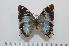 (Charaxes subrubidus - BC-Basq1644)  @14 [ ] Unspecified (default): All Rights Reserved  Unspecified Unspecified