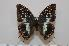 (Charaxes etheocles ochracea - BC-Basq1666)  @14 [ ] Unspecified (default): All Rights Reserved  Unspecified Unspecified