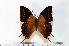 (Charaxes cowani - BC-Basq1725)  @14 [ ] Unspecified (default): All Rights Reserved  Unspecified Unspecified
