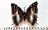 (Charaxes berkeleyi - BC-Basq1739)  @14 [ ] Unspecified (default): All Rights Reserved  Unspecified Unspecified