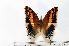(Charaxes saturnus - BC-Basq1747)  @13 [ ] Unspecified (default): All Rights Reserved  Unspecified Unspecified
