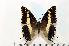 (Charaxes hansali - BC-Basq1749)  @14 [ ] Unspecified (default): All Rights Reserved  Unspecified Unspecified