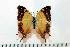 (Charaxes betsimisaraka - BC-Basq1767)  @14 [ ] Unspecified (default): All Rights Reserved  Unspecified Unspecified