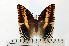(Charaxes jasius brunnescens - BC-Basq1768)  @14 [ ] Unspecified (default): All Rights Reserved  Unspecified Unspecified