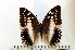 (Charaxes ameliae - BC-Basq1778)  @14 [ ] Unspecified (default): All Rights Reserved  Unspecified Unspecified