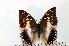 (Charaxes ameliae - BC-Basq1779)  @14 [ ] Unspecified (default): All Rights Reserved  Unspecified Unspecified