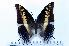 (Charaxes castor - BC-Basq1787)  @14 [ ] Unspecified (default): All Rights Reserved  Unspecified Unspecified