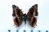 (Charaxes cynthia - BC-Basq1808)  @14 [ ] Unspecified (default): All Rights Reserved  Unspecified Unspecified