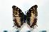 (Charaxes etheocles ochracea - BC-Basq1841)  @14 [ ] Unspecified (default): All Rights Reserved  Unspecified Unspecified