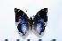 (Charaxes violetta - BC-Basq1849)  @13 [ ] Unspecified (default): All Rights Reserved  Unspecified Unspecified