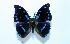 (Charaxes mycerina - BC-Basq1855)  @13 [ ] Unspecified (default): All Rights Reserved  Unspecified Unspecified