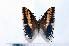 (Charaxes jasius brunnescens - BC-Basq1856)  @14 [ ] Unspecified (default): All Rights Reserved  Unspecified Unspecified