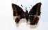 (Charaxes richelmanni - BC-Basq1884)  @13 [ ] Unspecified (default): All Rights Reserved  Unspecified Unspecified
