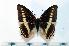 (Charaxes lucretius - BC-Basq1889)  @14 [ ] Unspecified (default): All Rights Reserved  Unspecified Unspecified