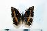 (Charaxes octavus - BC-Basq1906)  @13 [ ] Unspecified (default): All Rights Reserved  Unspecified Unspecified