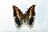 (Charaxes saturnus - BC-Basq1907)  @13 [ ] Unspecified (default): All Rights Reserved  Unspecified Unspecified