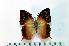 (Charaxes nicati - BC-Basq1908)  @13 [ ] Unspecified (default): All Rights Reserved  Unspecified Unspecified