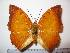 (Charaxes distincta - BC-Basq 1909)  @15 [ ] Unspecified (default): All Rights Reserved  Unspecified Unspecified
