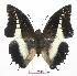(Charaxes brutus natalensis - BC-EV0582)  @15 [ ] Unspecified (default): All Rights Reserved  Unspecified Unspecified