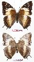 (Charaxes cedreatis gha01 - BC-EV0722)  @13 [ ] Unspecified (default): All Rights Reserved  Unspecified Unspecified