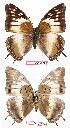 (Charaxes cedreatis gha01 - BC-EV0723)  @13 [ ] Unspecified (default): All Rights Reserved  Unspecified Unspecified