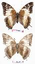 (Charaxes cedreatis gha01 - BC-EV0725)  @13 [ ] Unspecified (default): All Rights Reserved  Unspecified Unspecified