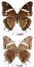 (Charaxes prettejohni - BC-EV0727)  @16 [ ] Unspecified (default): All Rights Reserved  Unspecified Unspecified