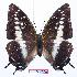 (Charaxes etesipe hercules - BC-EV0762)  @14 [ ] Unspecified (default): All Rights Reserved  Unspecified Unspecified