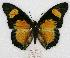 (Charaxes fournierae kigeziensis - BC-EV0774)  @15 [ ] Unspecified (default): All Rights Reserved  Unspecified Unspecified