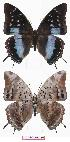 (Charaxes bouyeri - BC-EV0780)  @15 [ ] Unspecified (default): All Rights Reserved  Unspecified Unspecified