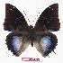 (Charaxes xiphares desmonti - BC-EV0786)  @15 [ ] Unspecified (default): All Rights Reserved  Unspecified Unspecified