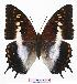 (Charaxes ansorgei - BC-EV0795)  @15 [ ] Unspecified (default): All Rights Reserved  Unspecified Unspecified