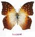 (Charaxes acuminatus oreas - BC-EV0799)  @15 [ ] Unspecified (default): All Rights Reserved  Unspecified Unspecified