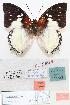(Charaxes hadrianus lecerfi - BC-EV0800)  @13 [ ] Unspecified (default): All Rights Reserved  Unspecified Unspecified
