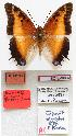 (Charaxes pollux piersoni - BC-EV0802)  @15 [ ] Unspecified (default): All Rights Reserved  Unspecified Unspecified