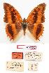 (Charaxes cynthia sabulosus - BC-EV0803)  @14 [ ] Unspecified (default): All Rights Reserved  Unspecified Unspecified