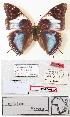 (Charaxes sikiae - BC-EV0822)  @13 [ ] Unspecified (default): All Rights Reserved  Unspecified Unspecified