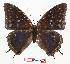 (Charaxes sp - BC-EV0862)  @15 [ ] Unspecified (default): All Rights Reserved  Unspecified Unspecified