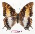 (Charaxes viola picta - BC-EV0872)  @14 [ ] Unspecified (default): All Rights Reserved  Unspecified Unspecified