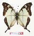 (Charaxes mafugensis - BC-EV0877)  @15 [ ] Unspecified (default): All Rights Reserved  Unspecified Unspecified