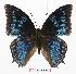 (Charaxes montieri - BC-EV0887)  @15 [ ] Unspecified (default): All Rights Reserved  Unspecified Unspecified