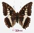 (Charaxes lemosi - BC-EV0889)  @14 [ ] Unspecified (default): All Rights Reserved  Unspecified Unspecified