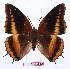 (Charaxes eudoxus lequexi - BC-EV0898)  @14 [ ] Unspecified (default): All Rights Reserved  Unspecified Unspecified