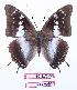 (Charaxes vansoni - BC-EV0907)  @15 [ ] Unspecified (default): All Rights Reserved  Unspecified Unspecified