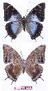 (Charaxes variata - BC-EV0914)  @15 [ ] Unspecified (default): All Rights Reserved  Unspecified Unspecified