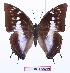 (Charaxes ethalion ethalion - BC-EV0916)  @15 [ ] Unspecified (default): All Rights Reserved  Unspecified Unspecified