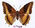 (Charaxes eudoxus mechowi - BC-EV0946)  @15 [ ] Unspecified (default): All Rights Reserved  Unspecified Unspecified